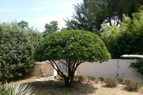 Taille de mise en forme arbuste montagnac entretien des for Jardinier paysagiste herault