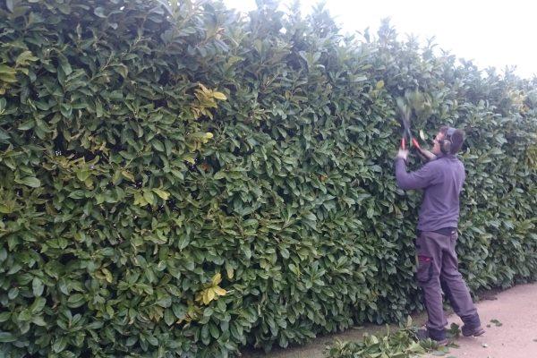 Taille de haie montagnac entretien des travaux for Jardinier paysagiste herault